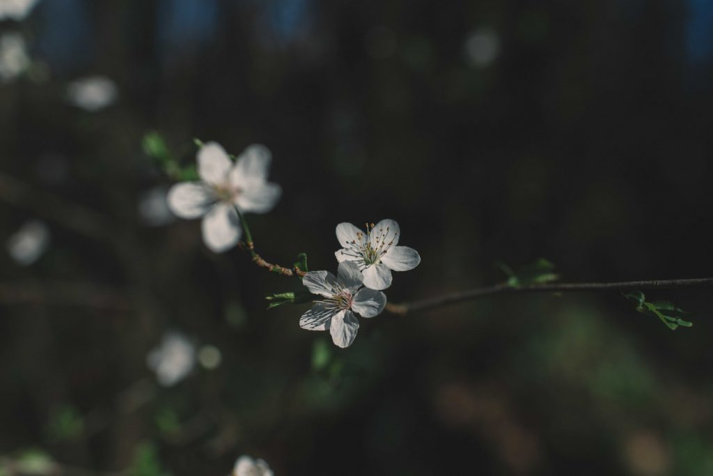Close up of small white flowers on a branch.