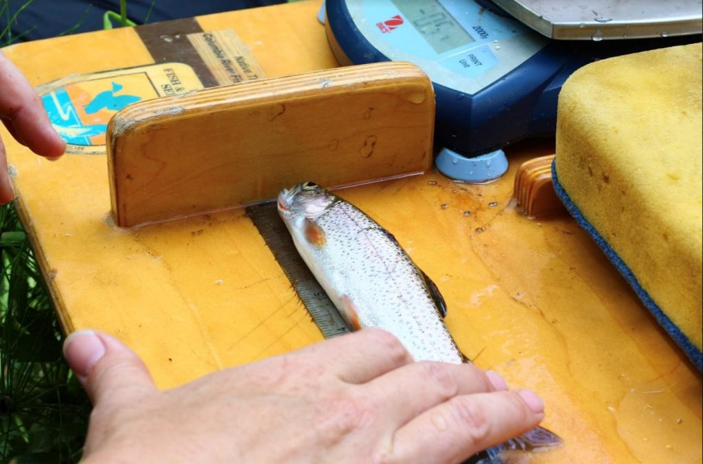 Cutthroat Trout with beautiful orange maxillary about to receive a PIT tag for monitoring.