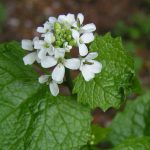 Garlic mustard plant with small white flowers